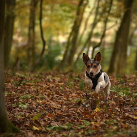 Running In The Wood by Marco Bertamé - Animals - Dogs Running ( running, forest, jumping, leaves, fall, jack russel, wood, dag, autumn, trees )