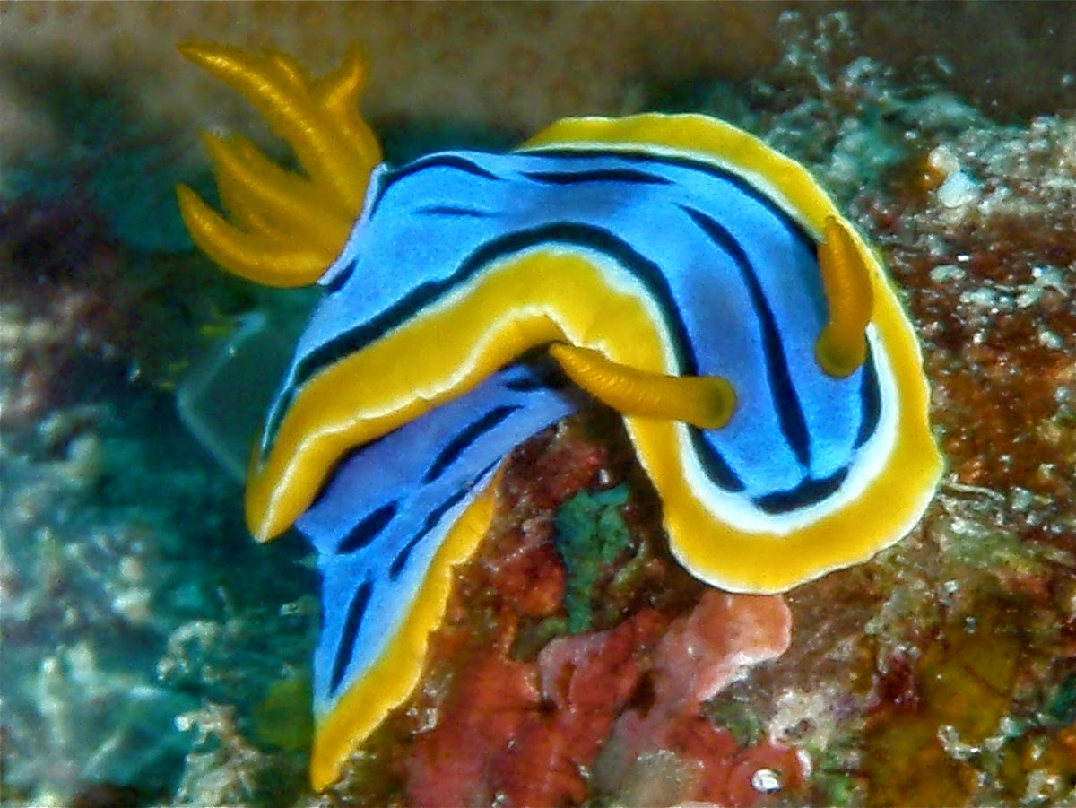 Nudibranch, Curtesy of TAKA