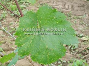 Photo: Phomopsis viticola na liściach