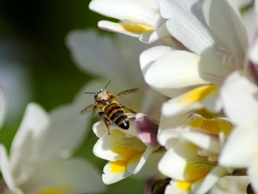 the pollinating bee di Primula Vico