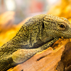 by Asya Atanasova - Animals Reptiles ( lizard, green,  )