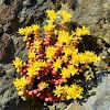 Cascade stonecrop