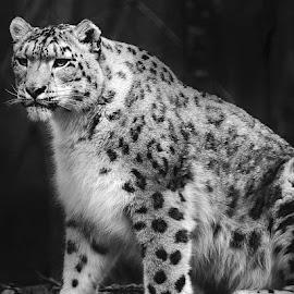 Snow leopard by Gérard CHATENET - Black & White Animals