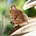 Orion Cecropian or Stinky Leafwing