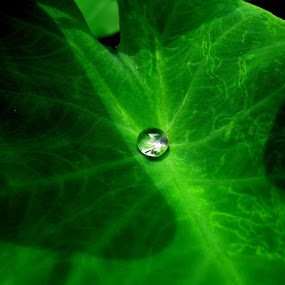 Dew........ by Dipan Chaudhuri - Nature Up Close Leaves & Grasses