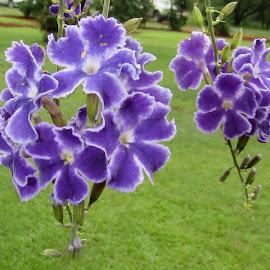 Purple flowers by Marissa Enslin - Flowers Tree Blossoms (  )