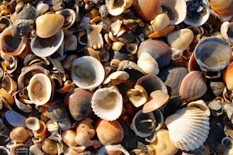 Photo: Shells on the beach near Canet plage in France.