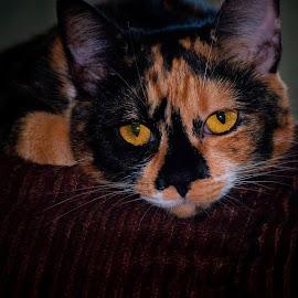 by Patti Cooper - Animals - Cats Portraits
