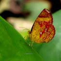 Callidula Butterfly-moth