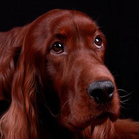 Rohan by Ken Jarvis - Animals - Dogs Portraits ( irish setter, dog portrait, irish, cute dog,  )