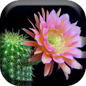 Cactus Flowers Live Wallpaper icon