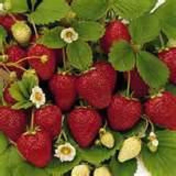 Wild Strawberries There Are Nothing Like Them....yummmm