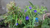 Photo: Telegraf de grădină (Tradescantia virginiana)  - de pe Str. George Cosbuc - 2015.07.18 Album: http://ana-maria-catalina.blogspot.ro/2016/06/floare-albastra-tradescantia-ohiensis.html