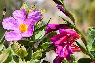 Photo: Cistus incanus + Gladiolus sp.