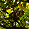 brown hawk-owl, brown boobook