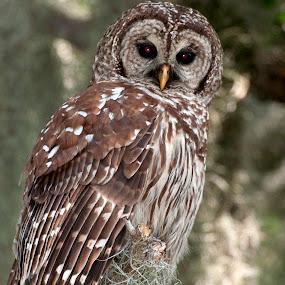 Barred Owl by Jeri Curley - Animals Birds ( bird, barred, barred owl, owl )