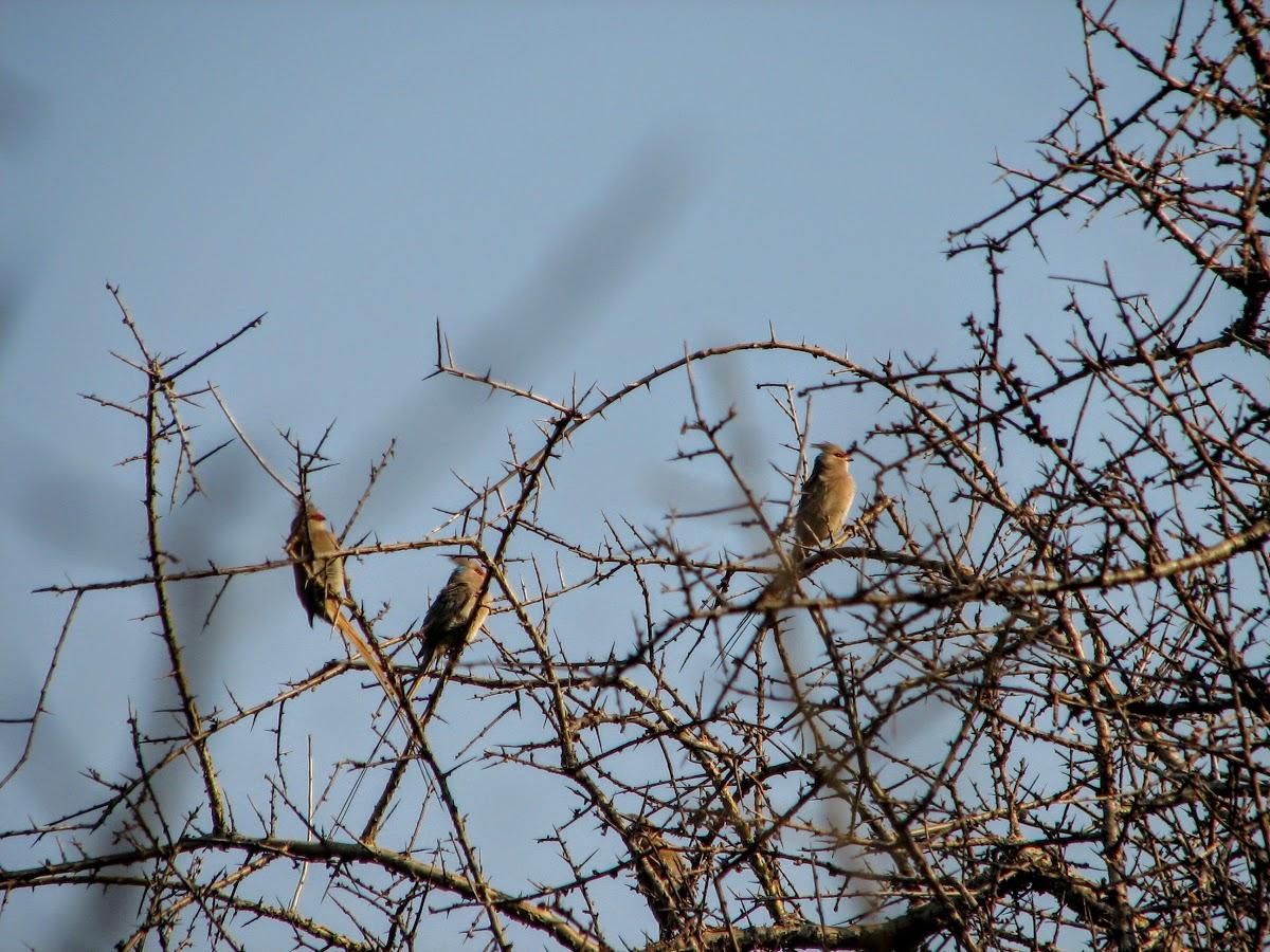 Pouillot à face mousebirds