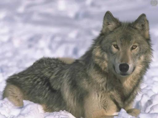 http://lh6.google.com/LisaSmirnoff/RtmoNbKXkhI/AAAAAAAABfw/F_3fdicn8AU/wolf.jpg?imgmax=512