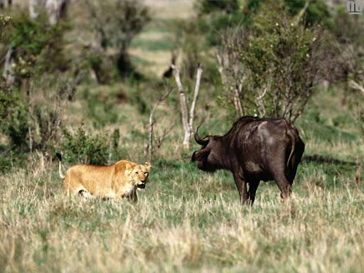 http://lh3.google.com/LisaSmirnoff/RtmoQrKXkiI/AAAAAAAABf4/n1u4fshrBww/lion.jpg?imgmax=512