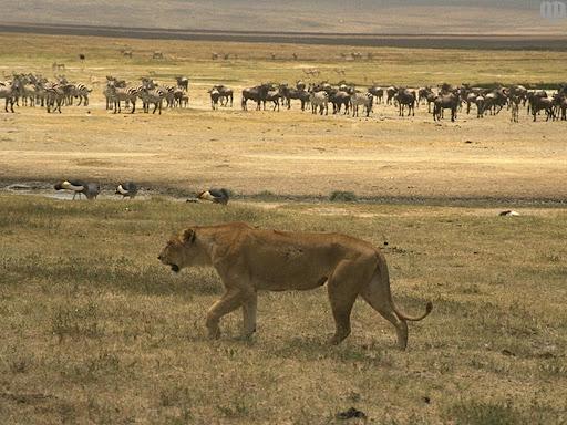 http://lh3.google.com/LisaSmirnoff/RtmoVrKXkjI/AAAAAAAABgA/bEGpUAmafxk/lioness.jpg?imgmax=512