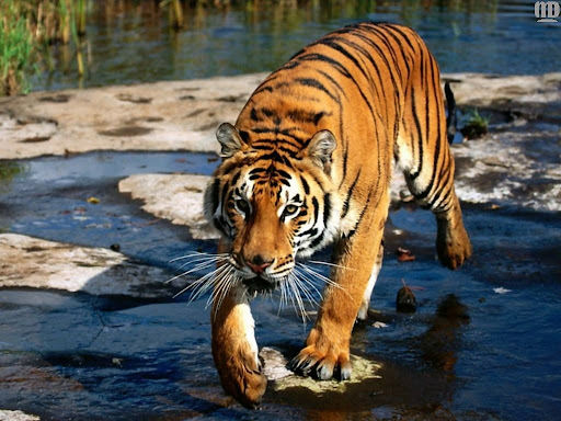 http://lh6.google.com/LisaSmirnoff/RtmoZbKXkkI/AAAAAAAABgI/n-OJaChL6iE/tiger.jpg?imgmax=512