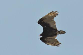 Photo: Turkey Vulture (Truthahngeier); Bernal, QRO