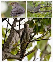 Photo: 撮影者:村山和夫 ツツドリ タイトル:今日も出ました 観察年月日:2014年10月9日 羽数:1羽 場所:片倉の集いの森公園 区分:託卵 メッシュ:八王子6G コメント:先月の下旬から連日のように観察されています。どこで知るのかカメラマンの数も増えて来ました。ヒラリヒラリと林内を飛ぶ様子は個性的で同じ位の大きさのキジバト等と間違える事はありません。