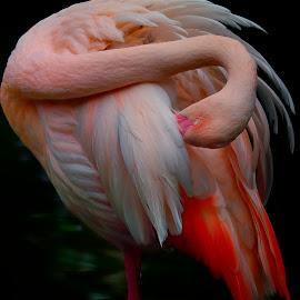 Grooming flamingo by Francois Wolfaardt - Uncategorized All Uncategorized ( contrast, bird, grooming, macro, neck, nature, flamingo, pink, feathers )