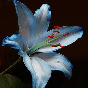 Lily on Black by Chrissie Barrow - Flowers Single Flower ( stigma, red, single, stamens, lily, petals, blue, green, white, dark background, leaf, flower,  )