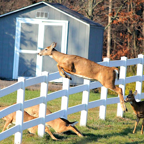 Mid Air by Julia Nicely - Animals Other Mammals ( fence, pwcmovinganimals, action, deer, jump )