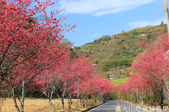 Photo: 拍攝地點: 春陽-春陽分場入口前公路(台14甲83.5k) 拍攝植物: 重瓣緋寒櫻 拍攝日期: 2015_02_10_FY