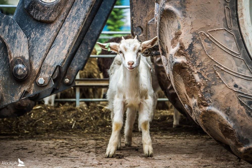 Der Bauer steht mit seiner Ziegenherde auf der Wiese