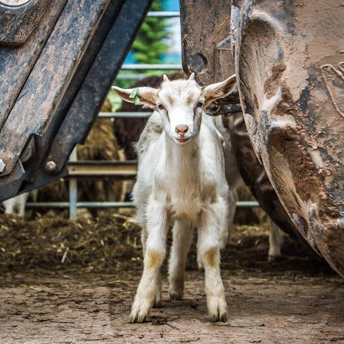 Ziegenfarm