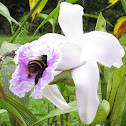 Bumblebee in Orchid
