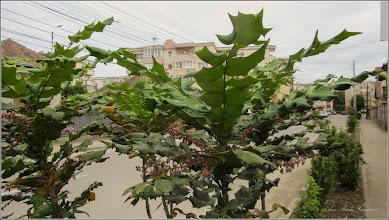 Photo: Stejar de carmaz (Quercus coccifera akseki) - Din Turda, de pe Str. Mihai Viteazu - 2018.05.14