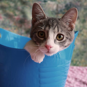 Joliet the kitten by Sharon Scholtes - Animals - Cats Kittens ( kitten, cat, blue, white, pink, feline )