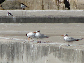 Photo: We found plenty of shore birds at the marina including these terns. Is it any wonder the bird in the background is named a stilt?