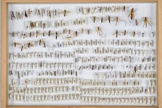 Photo: ZSM-HD-0001130 Various Ichneumonidae indet.