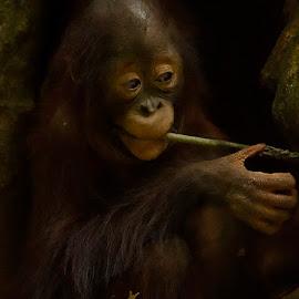 Timeless by Yohanes Arief Dewanto - Animals Other Mammals ( babyanimal, mammals, orangutan, animal, animals, wild )