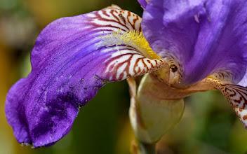 Photo: Iris pallida