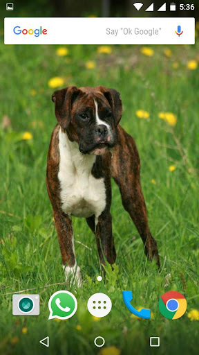 Download Boxer Dog Hd Wallpapers Google Play Softwares