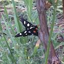 Orange spotted forester moth