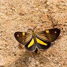 Phaeochlaena moth