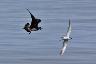 Photo: Parasitic Jaeger
