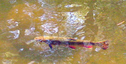 Photo: Brook trout in pond with fall spawning colors