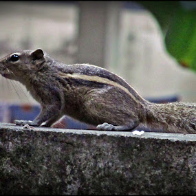 squirrel by Divya Balaji - Novices Only Pets ( squirrel )