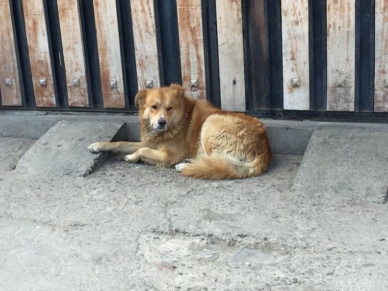 エル・アルトの道端にいたライオンのような犬