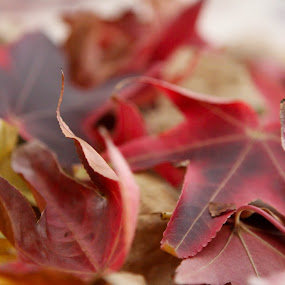 before brown..there was red by Rose Johnson - Nature Up Close Leaves & Grasses ( pwcfallleaves, autunm, fall, october, leaves )