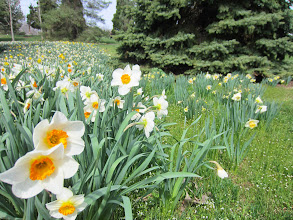 Photo: Edge of a river of daffodils at Cox Arboretum in Dayton, Ohio.