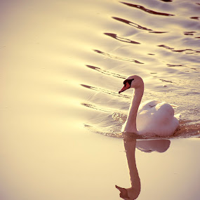 Hanging out by Anne-Cecile Pflieger - Animals Birds ( water, reflection, surface, waves, white, bird, annececilegraphic, ripples, wave, swan, ripple, pink, river, animal,  )